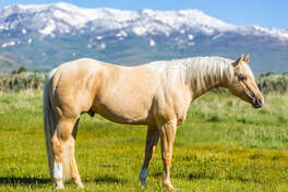 French Flit Jae 5628785 2014 buckskin stallion